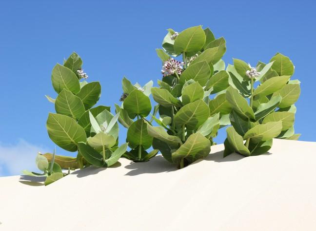Sterke plant