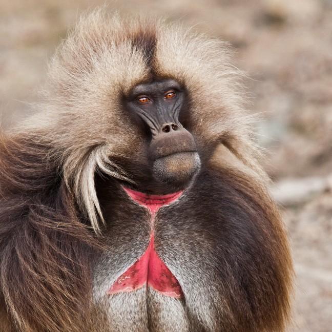 Bloedend Hart - gelada baviaan