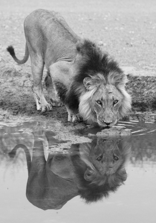 Drinkende leeuw
