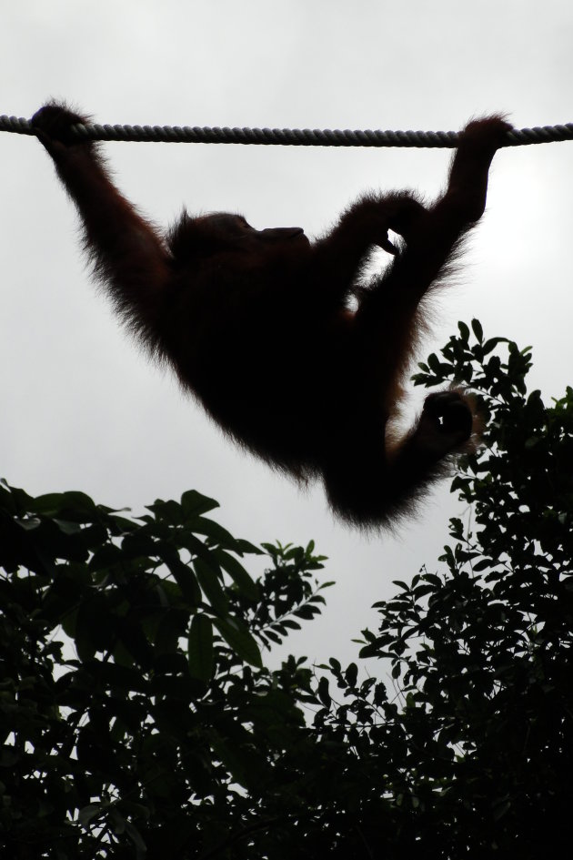 Orang Utang Borneo