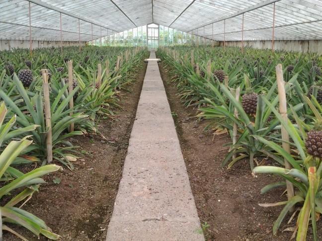 Ananas plantage op Sao Miguel