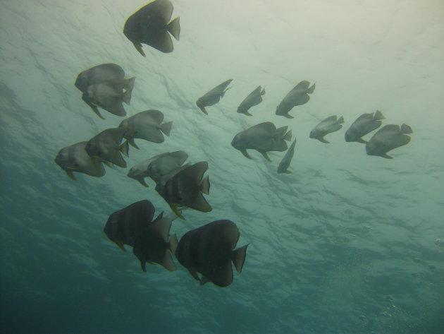 school met vleermuisvissen