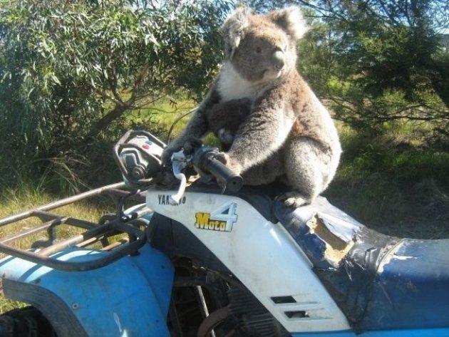 Koala neemt quad over!