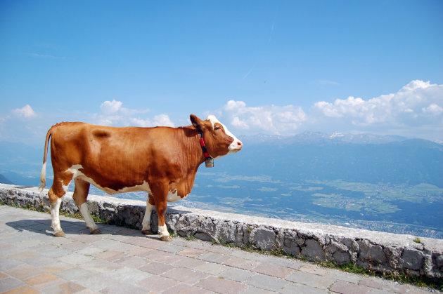 Alpenkoe op de uitkijk