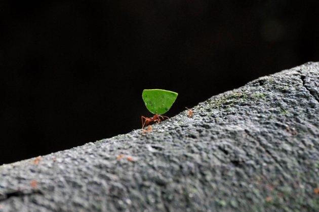 Leaf cutting ant