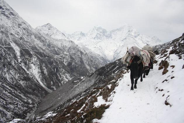 Yaks op je pad; Gokyo trekking in het Everest gebied.