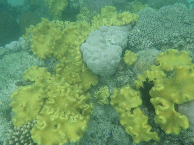 Grillig koraal