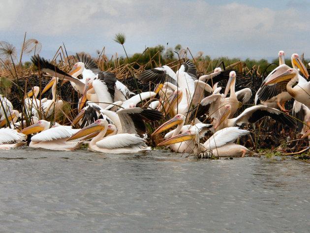 Pelikanen op een meer
