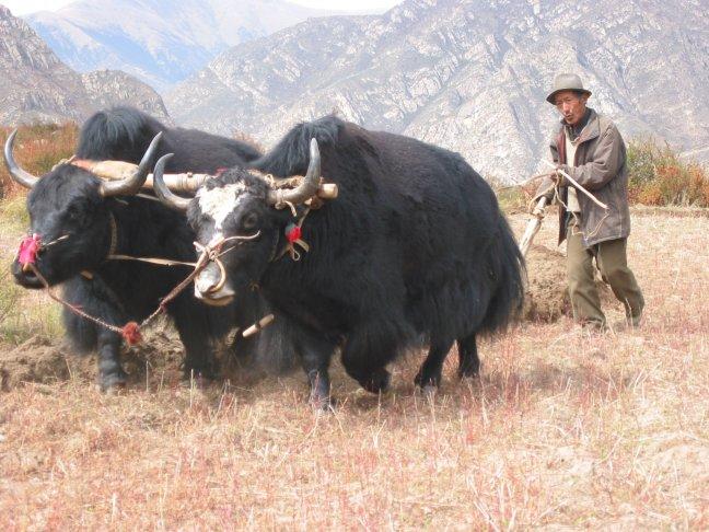 ploegen met yaks
