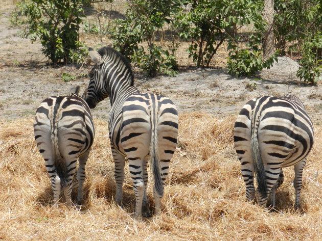 Zebra's in Senegal