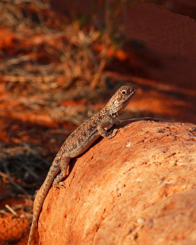 Australische  lizard