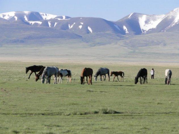 Paarden op Song Kul