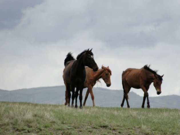Paarden op Song Kul 2