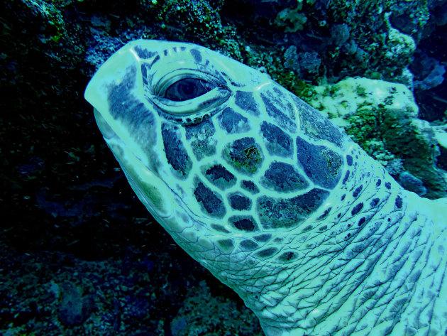 Reuze Zeeschildpad