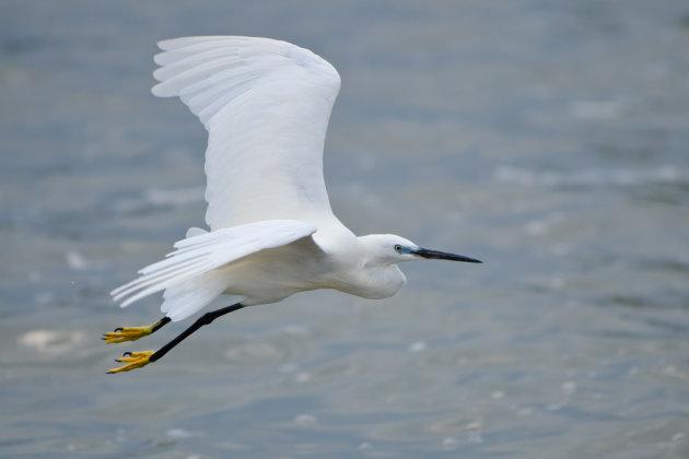 Witte reiger op Lake Victortia
