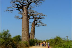 Baobab versus mens.