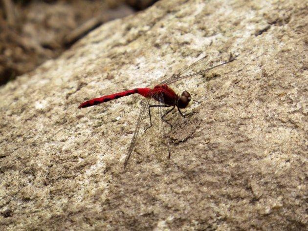 Rode libelle canada