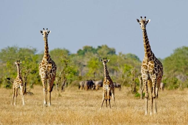 2 mal 2 giraffen