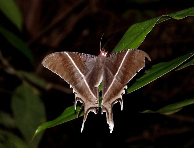 Nightshot van een nachtvlinder