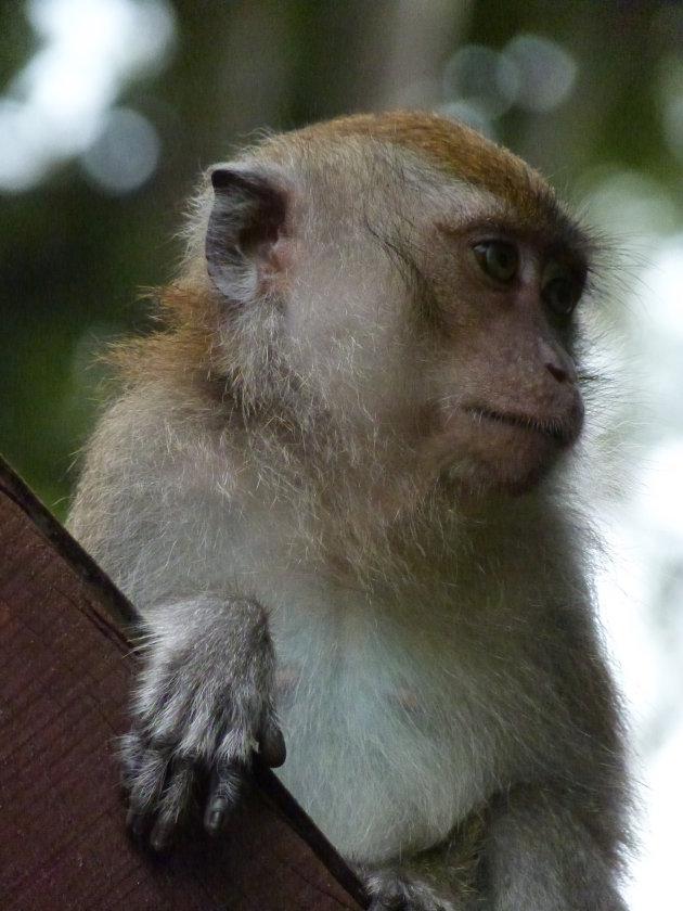 Denkende langstaart makaak