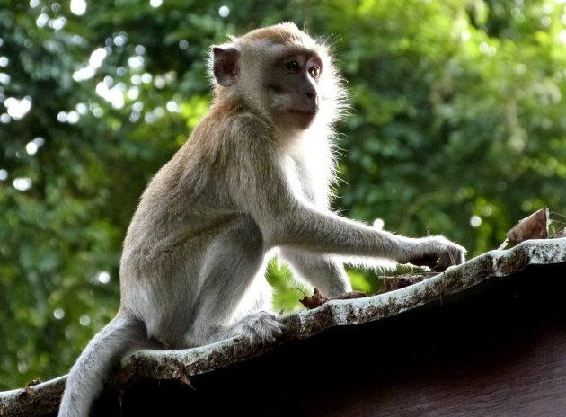 Ondeugende makaak
