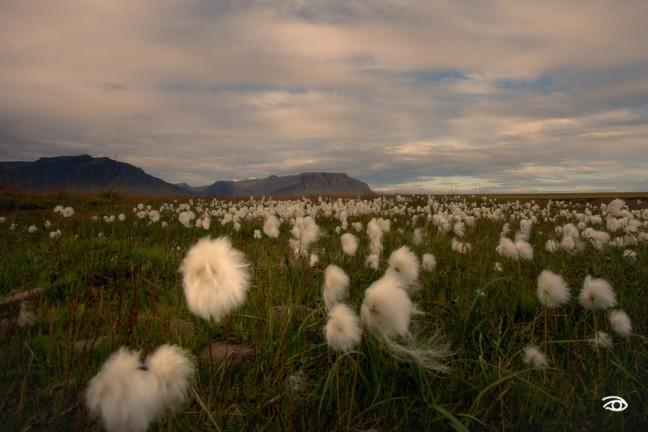 Midsummer Cottongrass