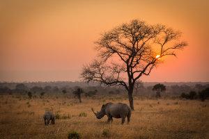 Neushoorns bij zonsopkomst
