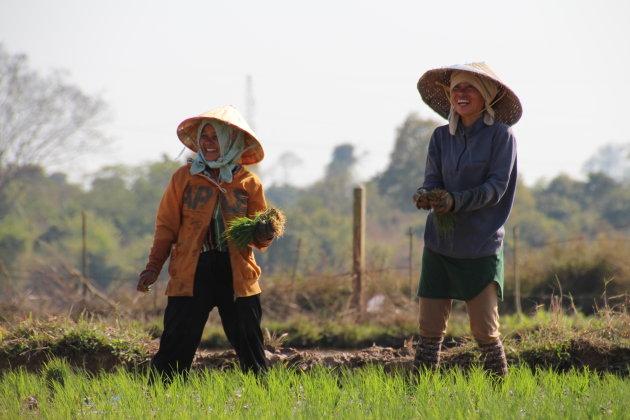 Rijst plantsters