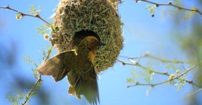 Wevervogel in zijn nest