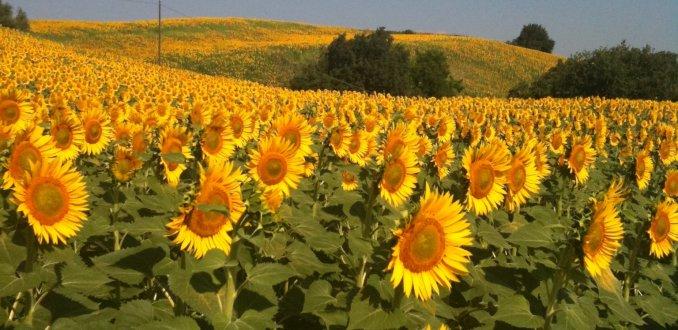 zonnebloemen in Le Marche