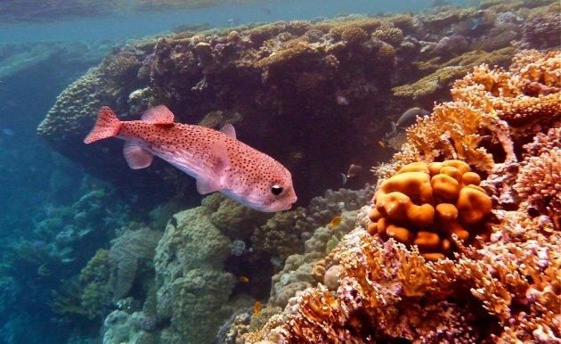 Een kogelvis in de Rode Zee.