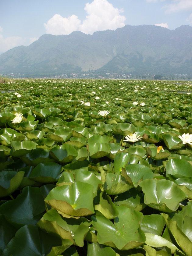 Waterlelies Dal Lake