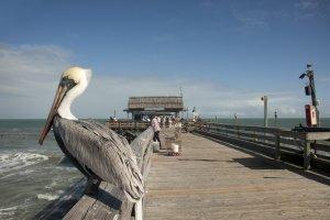 pelikaan wacht op een visje