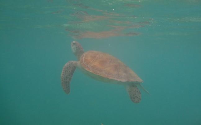 Malediven, schildpad!