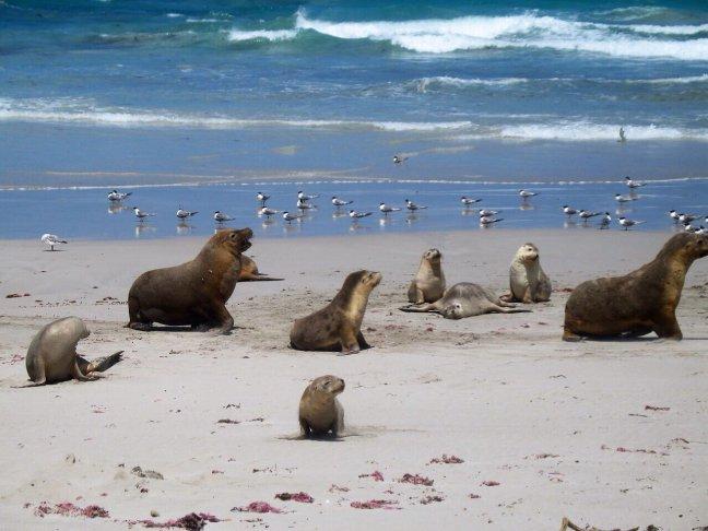 Locals kangaroo island