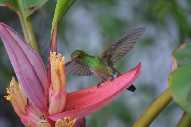 Kolibri!