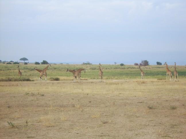 Giraffen in Murchison Falls National Park