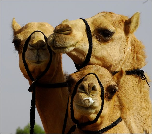 Camel-trio