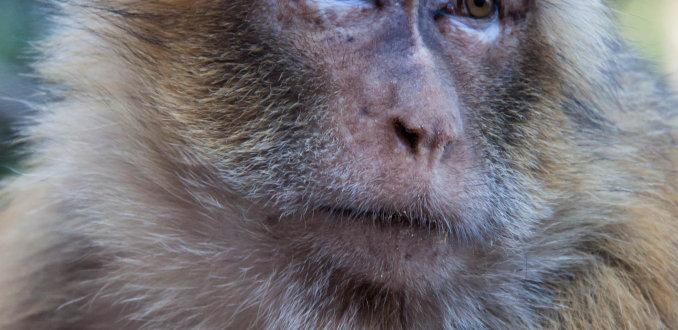 Trotse aap