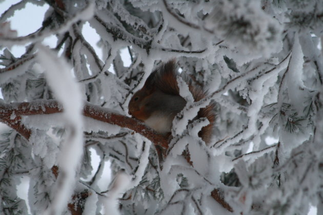 Eekhoorn niet met winterslaap?