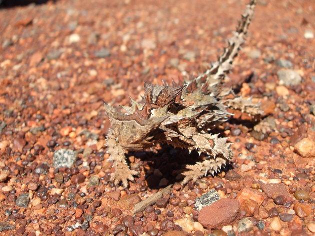 Een Thorny Dragon steekt over!
