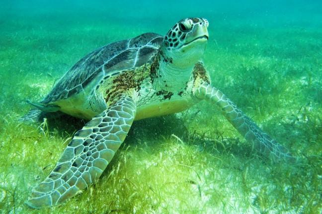 Zeeschildpad bij Akumal