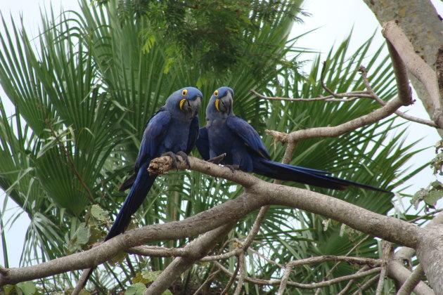 Ware liefde: blauwe ara's