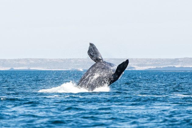 Walvissprong