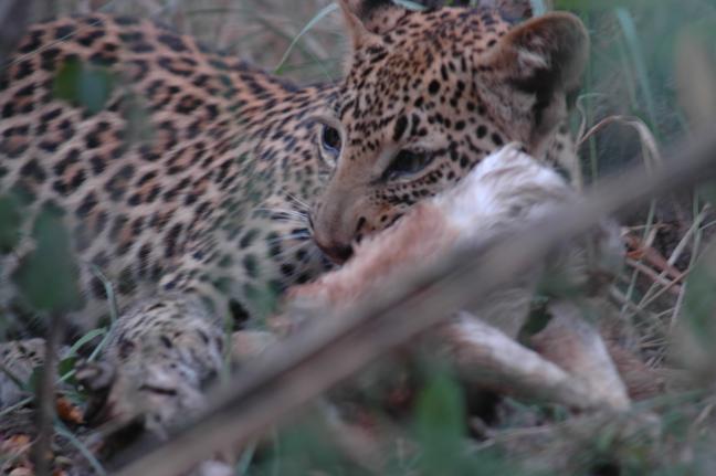 Luipaard jong gespot tijdens wandelsafari Zambia