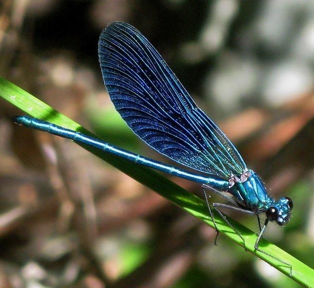 Blauwe waterjuffer