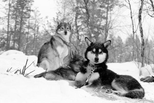 Husky s in de sneeuw