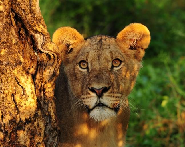 Gouden leeuwenuur