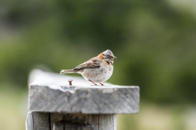 Vogel in Torres del Paine