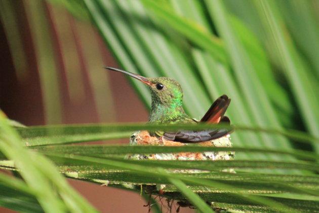 Kolibri op nest